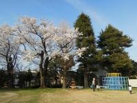 ジャングルジムと桜