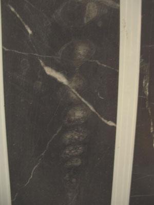 マーチソニアの化石