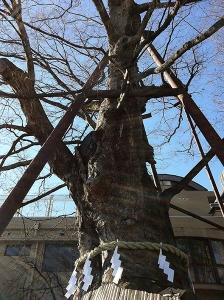 練馬白山神社の大ケヤキ