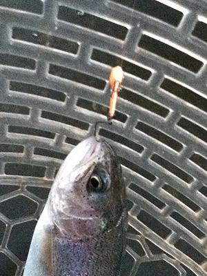 管理釣り場 トラウト 王禅寺