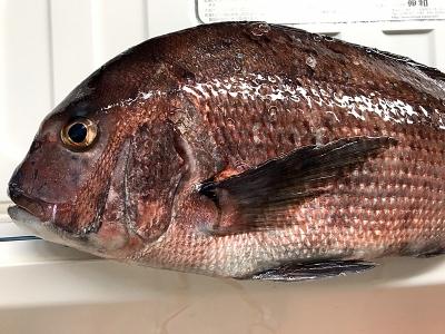 海釣り 鯛