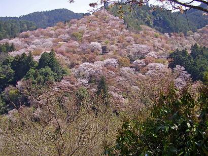 吉野山千本桜