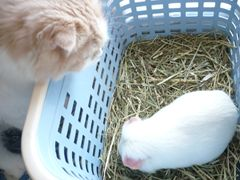 モルモットと猫
