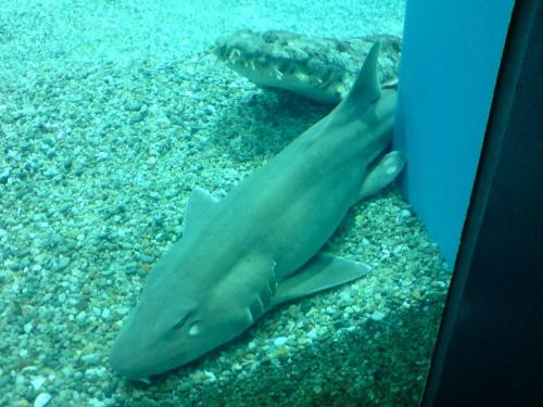 じっとしているサメ