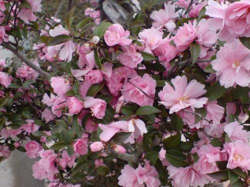 咲く咲くピンク