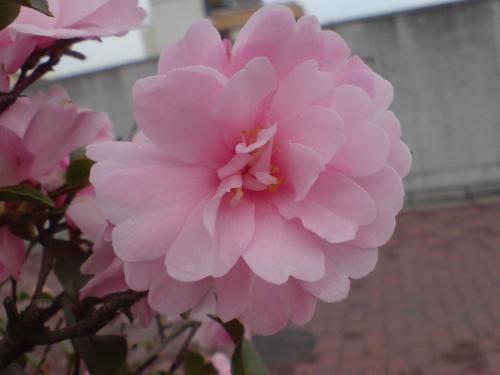 咲いたピンク