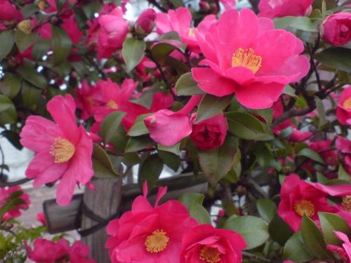 咲く咲く赤