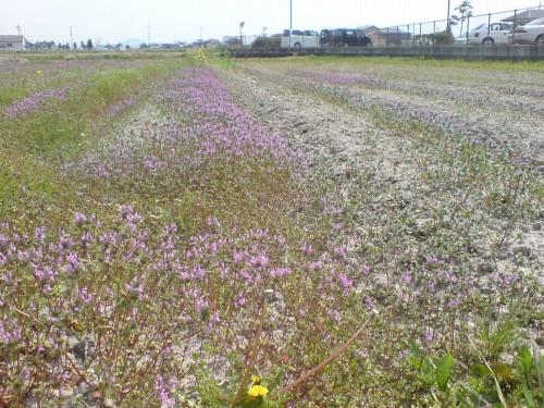 畑の草花…紫のちっちゃいやつ