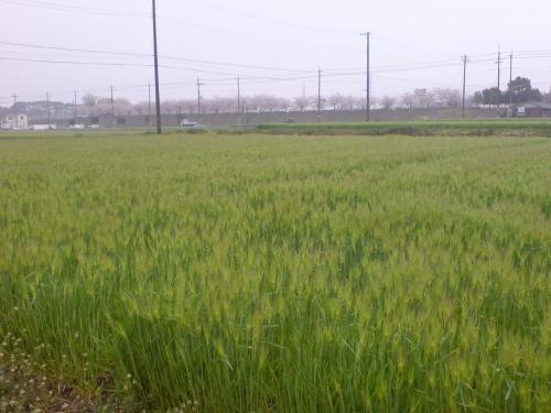 この10日ほどで穂が付いてきた「六条大麦」