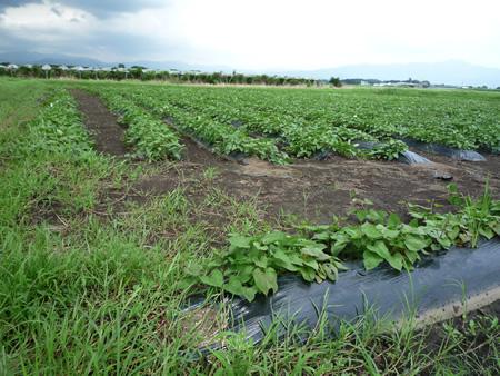 ムラサキマサリの芋畑です。