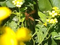 アオムシとアシナガバチ
