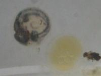 メダカの産卵