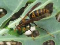 アシナガバチの集餌