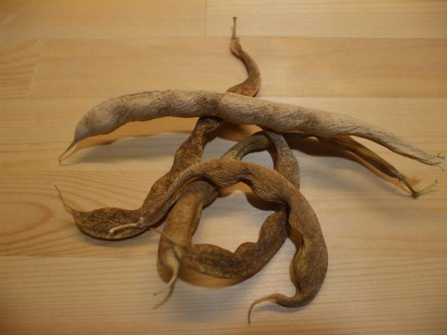 インゲン豆の種子