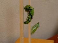 前蛹とサナギ