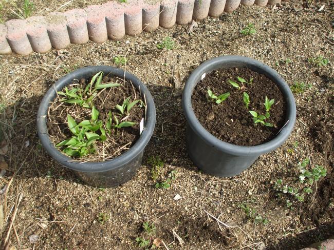 ツユクサの鉢植え