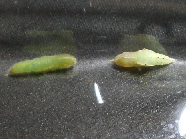 モンシロチョウの蛹化