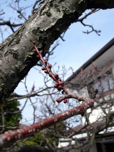 庭5・梅のつぼみ