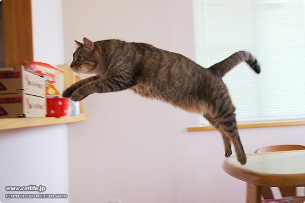 キンタ久々の、ジャンプ・ショット!!(ちょっとボケ気味ですが・・・) いやあ、正にpumaですね(^_^) バランサーになっている尻尾もカッコイイです。