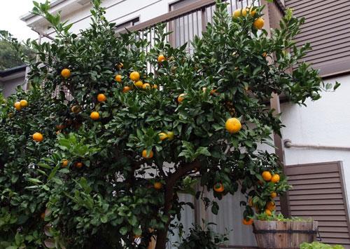 10.11.14_みかんの収穫1