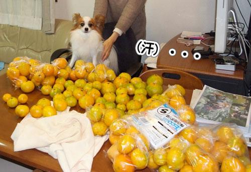 10.11.14_みかんの収穫2