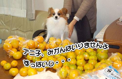 10.11.14_みかんの収穫3