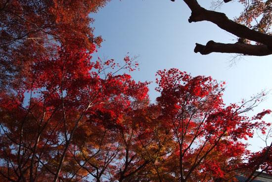 10.11.28_本土寺の紅葉3