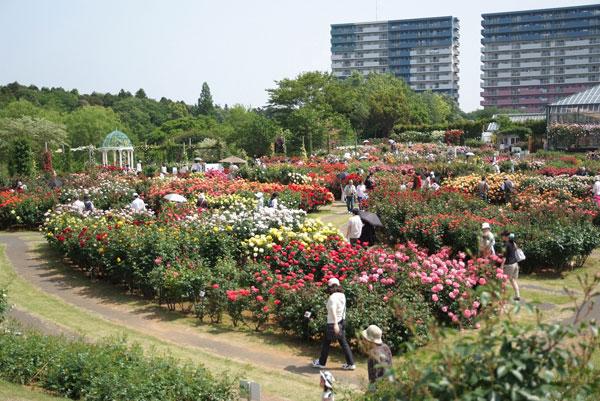 11.5.21_京成バラ園2