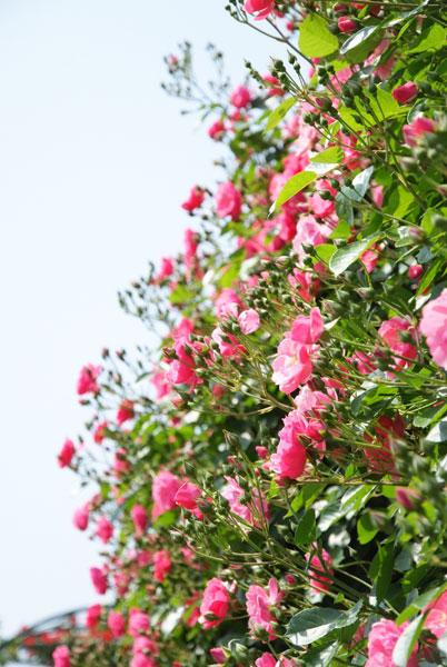 11.5.21_京成バラ園3