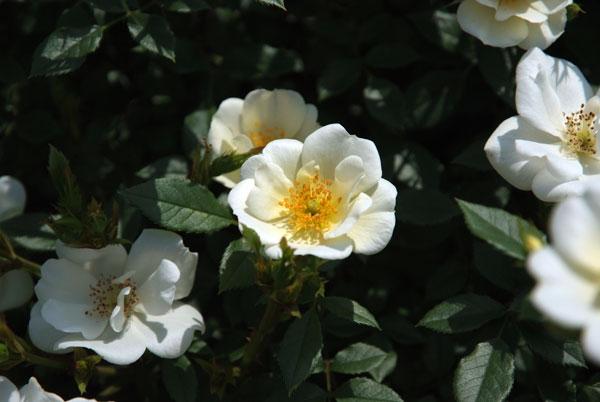 11.5.21_京成バラ園10