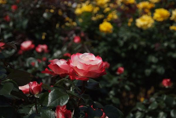 11.5.21_京成バラ園11