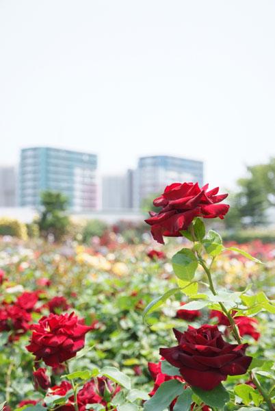11.5.21_京成バラ園20