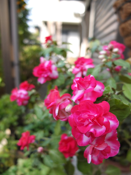 11.11.20_X10で花の撮影5