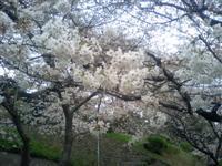 王子・音無親水公園の桜