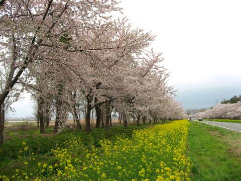 大潟村桜と菜の花まつり菜の花ロード