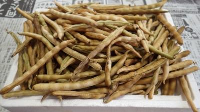 150115大納言小豆収穫