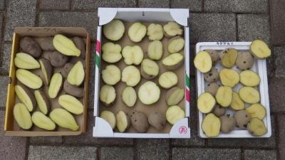 150414ジャガイモの分割
