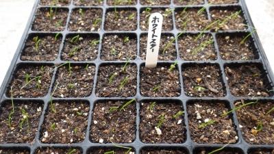 150415長ネギと葉ネギの発芽
