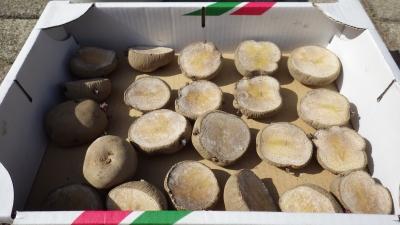 150422ジャガイモの種イモ・キュアリング