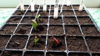 150511ウリ科の種子が芽生えました。