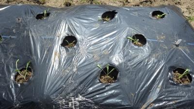 150421サラダ菜とレタスの胚軸断根挿し木苗の定植