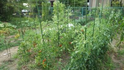 トマトの防鳥糸