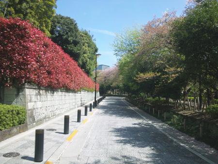 806千鳥が淵緑道、桜