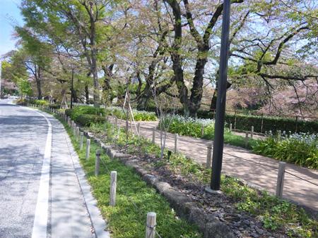 804千鳥が淵緑道、桜