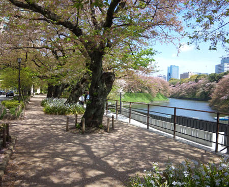 802千鳥が淵緑道、桜