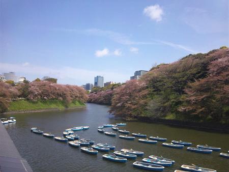 801千鳥が淵緑道、桜