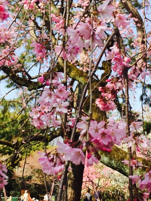 御所枝垂桜.jpg