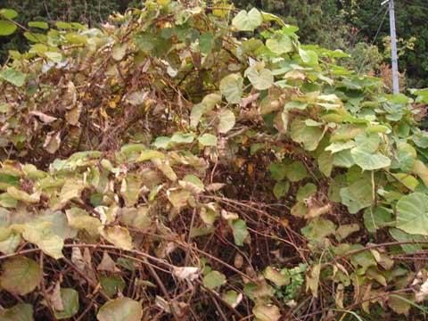 キウイの蔦の塊