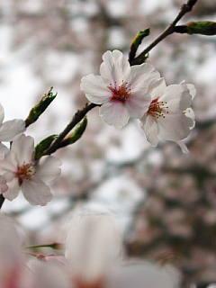 大石不動院の桜