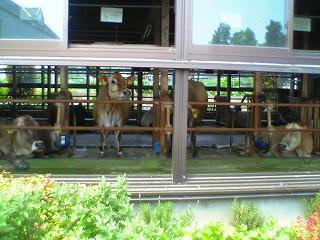 20050731 飯田牧場 牛